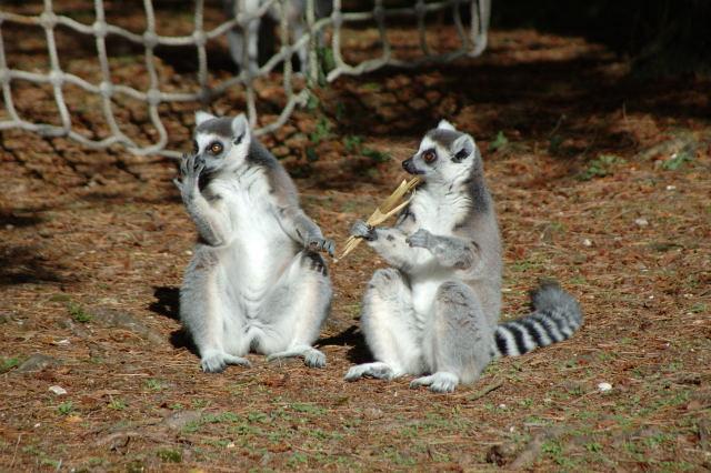 fear the lemurs