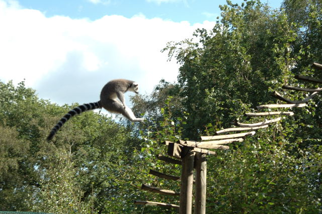 fear the leaping lemur